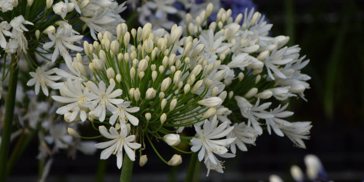 Agapanthus 'White heaven ®' (bladhoudend)