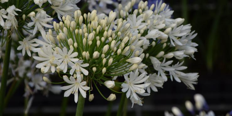 Agapanthus 'White heaven ®' (à feuillage persistant)